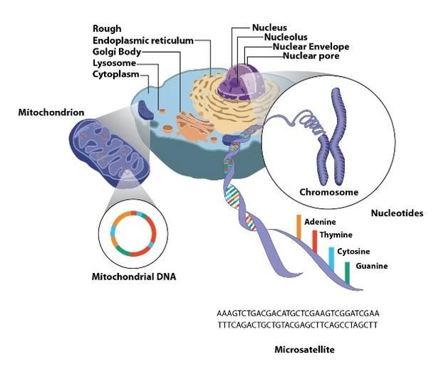 mito DNA