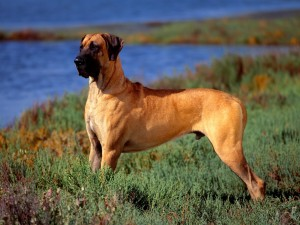 great-dane-01